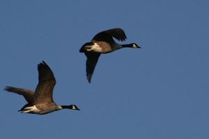 Canada Goose1