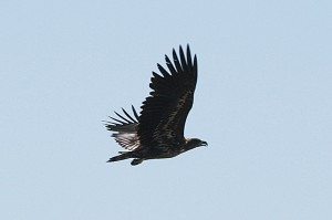 white-tailed-eagle1