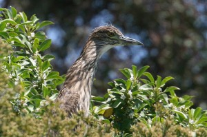 Black-crowned Night-Heron7