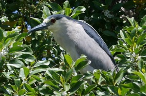 Black-crowned Night-Heron9