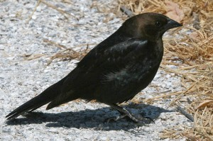 Brown_headed Cowbird1