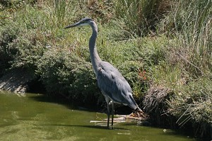 American-Great-Blue-Heron1