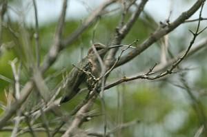 Annas-Hummingbird2