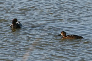 Greater-Scaup1