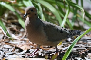 Mourning Dove6