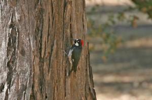 acorn_woodpecker4