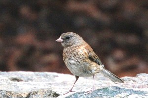 dark-eyed-junco2