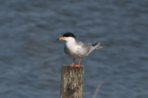 forsters tern5