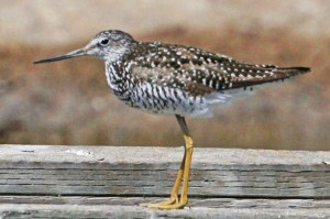 greater-yellowlegs2