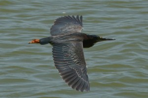 green-heron2