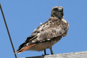 red-tailed-hawk1[1]