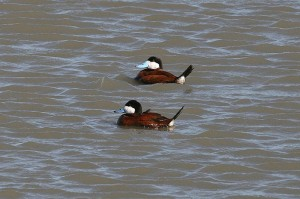 ruddy-duck-img1