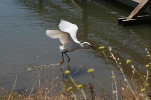 snowy-egret5