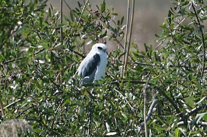 white-tailed-kite3
