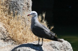 heermann's-gull1