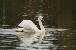 mute-swan123