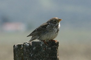 corn-bunting1