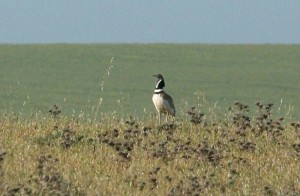 little-bustard1