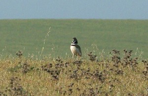 little-bustard2