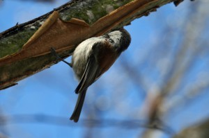 chestnut-backed-chickadee1
