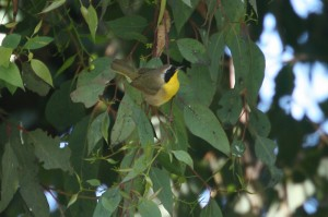 common-yellowthroat3