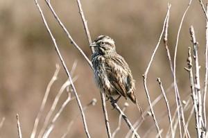 song-sparrow1[1]