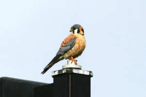 American Kestrel8