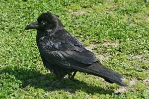 Common-Raven1