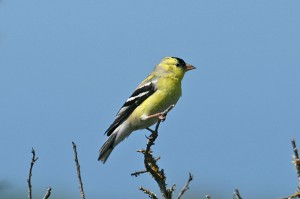 american-goldfinch1