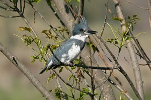 belted-kingfisher2