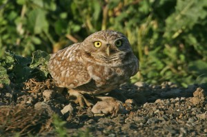 burrowing-owl3