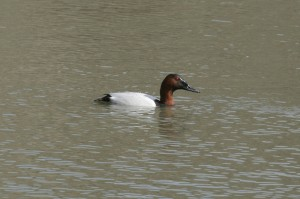 canvasback1