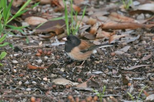 dark-eyed-juncooregon1