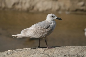 glaucous-winged-gull1