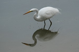 great-egret1