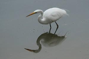 great-egret1
