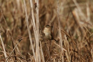 marsh-wren1