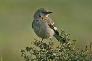 northern-mockingbird1