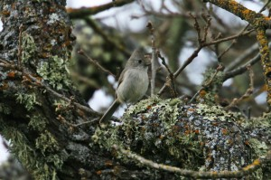 oak-titmouse1