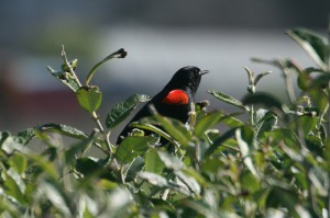 red-winged-blackbird1