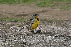 western-meadowlark2