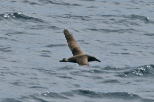 black-footed-albatross123_img_1745