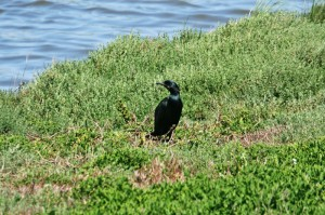 brandts-cormorant11img_2290