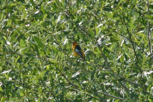 bullock oriole11img_2389