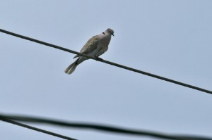 eurasian-collared-dove1