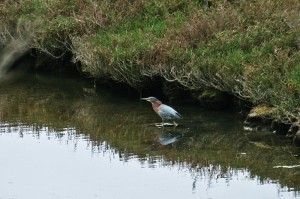 green-heron1