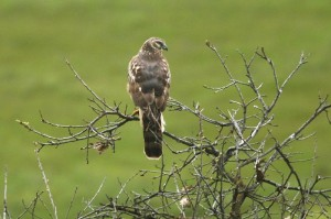 northern-harrier1[1]