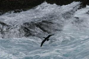 pelagic-cormorant123img_1261