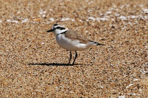 snowy-plover123img_1960