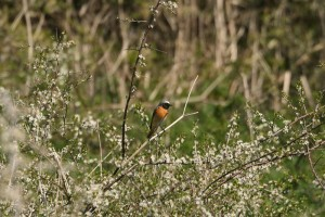 common-redstart123